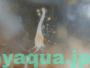 キタミズクラゲの腹ペコポリプ