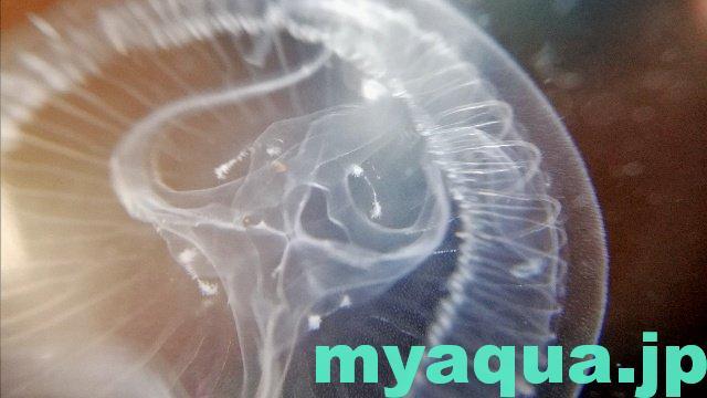 ミズクラゲのメデューサ