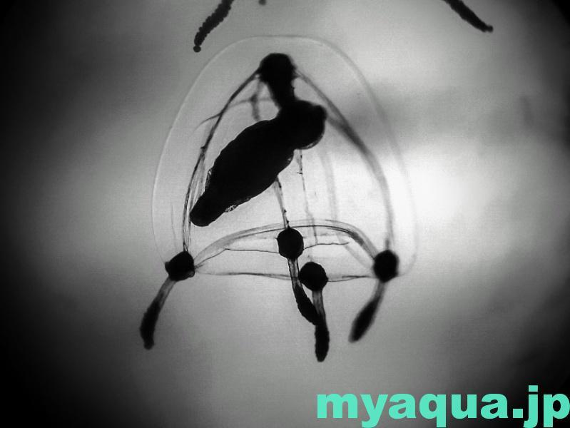 ジュズクラゲのメデューサ